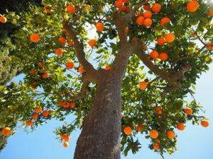 Dominikanische Republik Orangenbaum